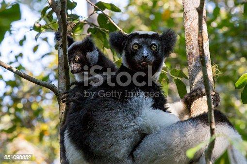 Indri Lemur with her cub on a tree. Madagascar.
