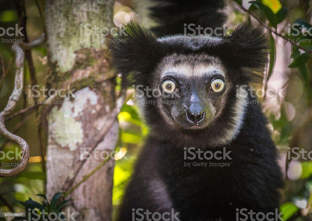 Indri, the largest lemur of Madagascar stock photo