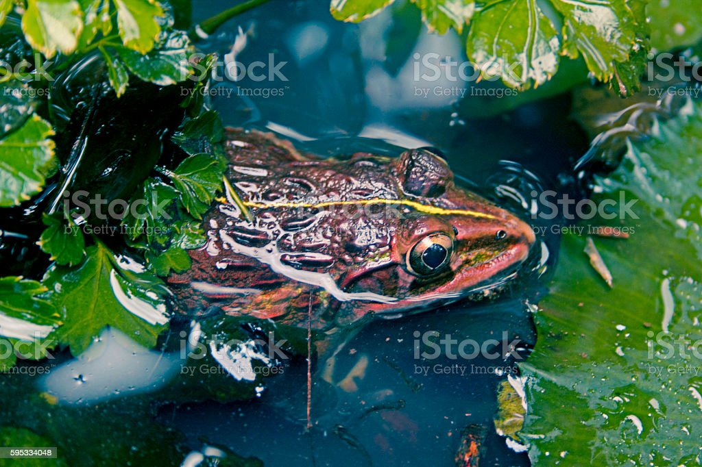 Indus Valley Bullfrog stock photo