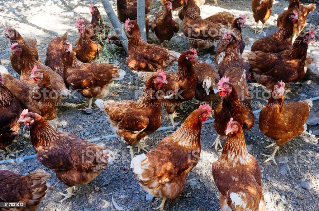 pollo industrial - foto de stock