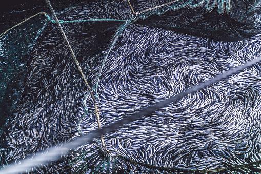 Industrial fishing in action: herrings in the net