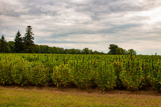 Industrial hemp field in Canada. Marijuana was recently legalized in Canada stock photo