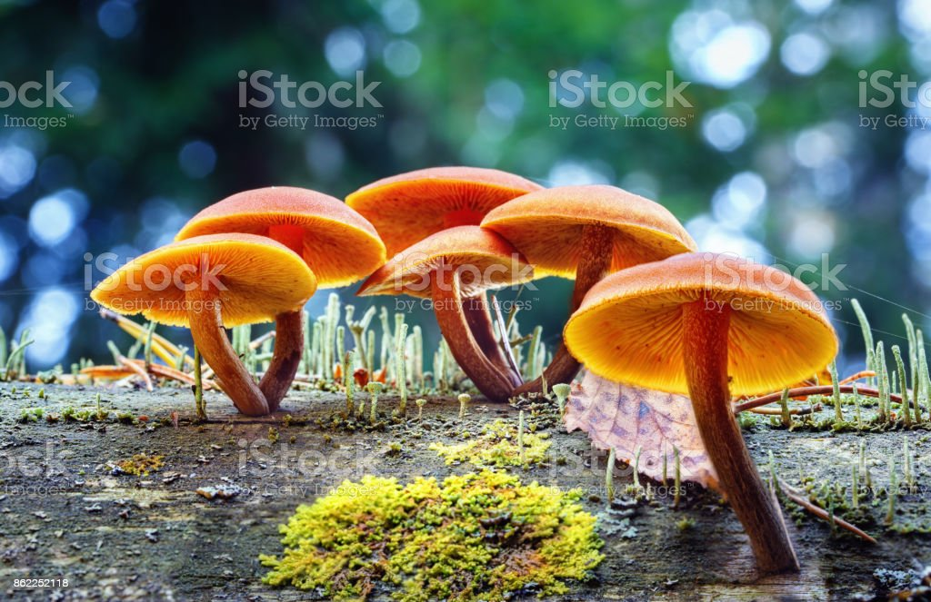 Inedible Psathyrella mushrooms grow on an old rotten tree stock photo