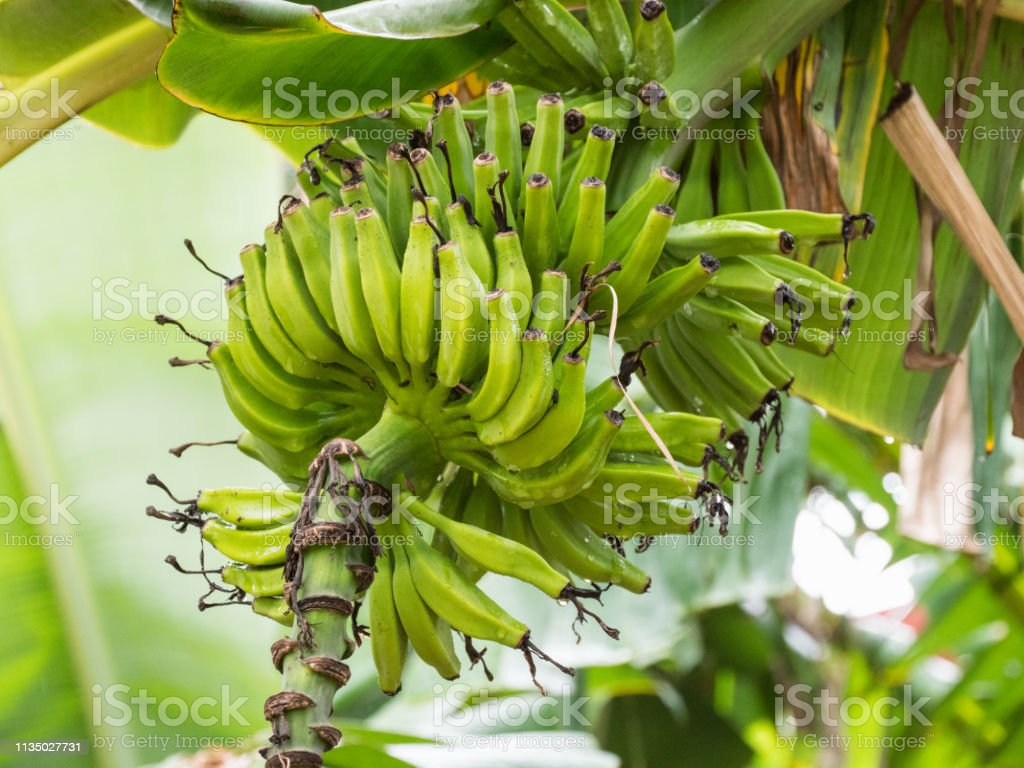 Inexperienced and green banana fruit. Bananas are cultivated in a...