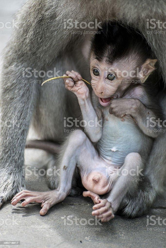 Infant Macaque Monkey stock photo