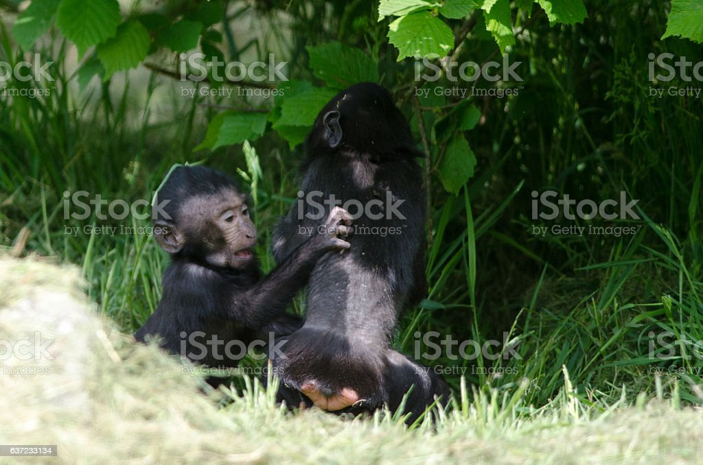 Infant Macaques stock photo