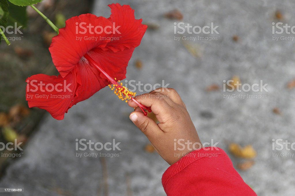 Infants hand and flower royalty-free stock photo
