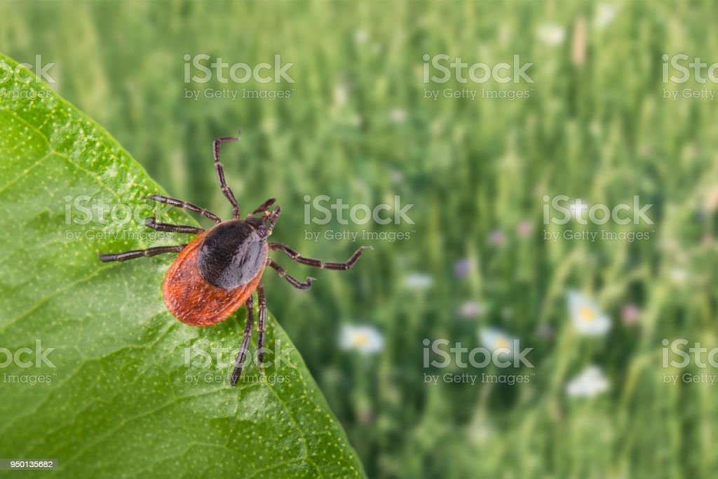 Infected castor bean tick lurks on green leaf. Ixodes ricinus. Selective focus stock photo