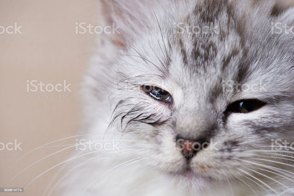 Infected eye of cat stock photo
