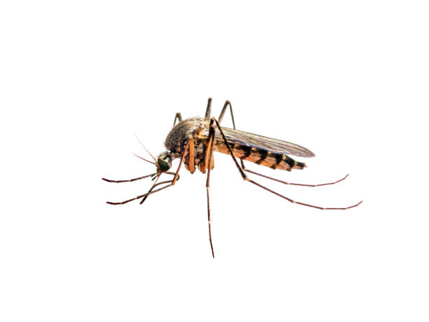 infected mosquito bite isolated on white - mosquito stock photos and pictures