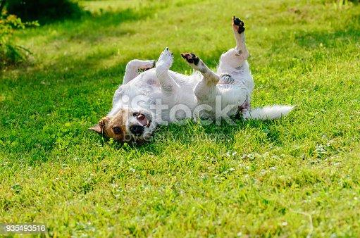 Jack Russell Terrier rolls at green grass