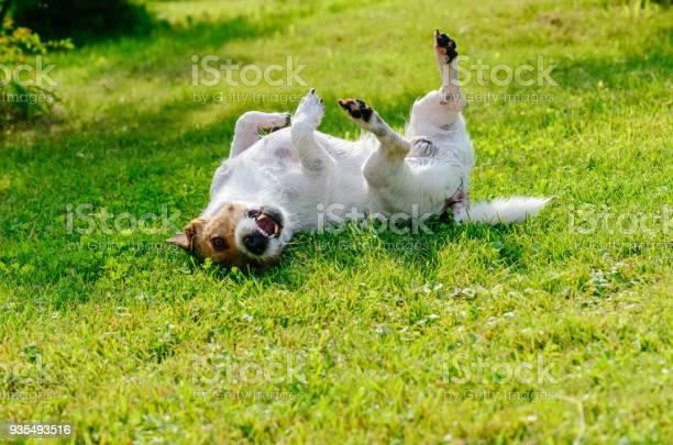 Infected or allergic dog scratching and itching its back on ground picture id935493516?b=1&k=6&m=935493516&s=612x612&h=7g6zq8uh0v6tsj baqoajxctnonv8xfjexstpbkttzc=