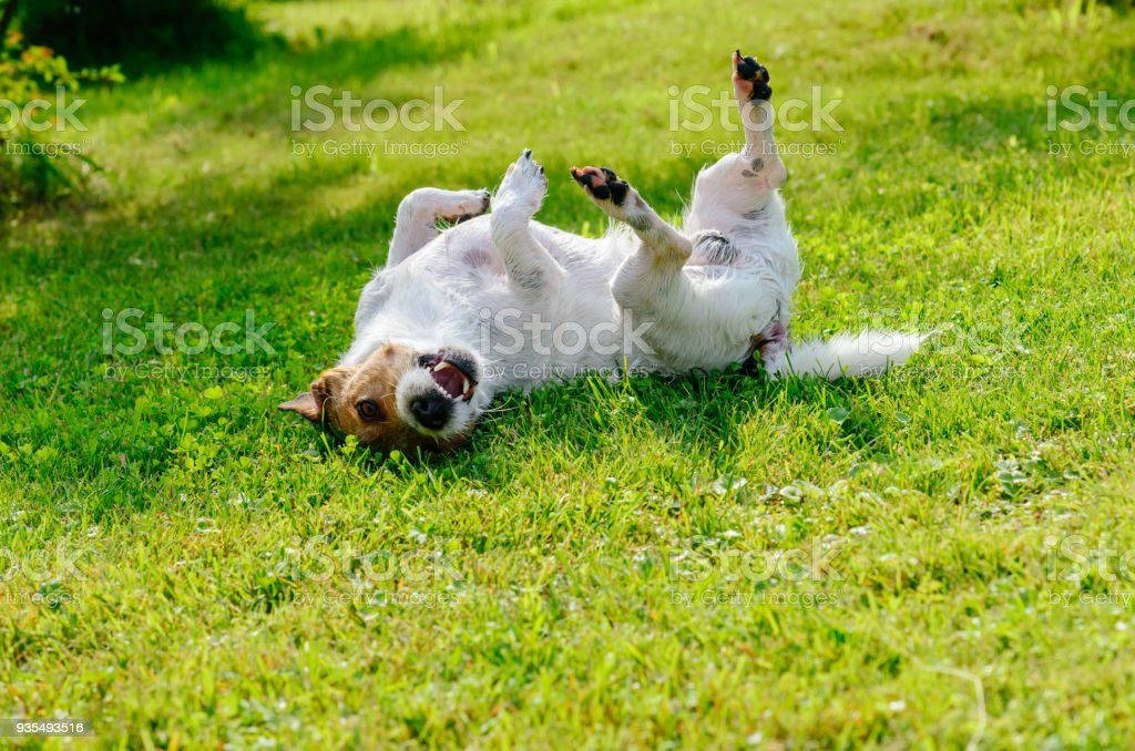 Infected or allergic dog scratching and itching its back on ground stock photo
