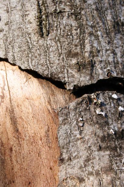 Infektion der Baumrinde – Foto