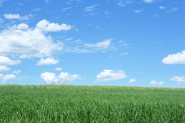 Infinite Beauty Sugar cane field paddock stock pictures, royalty-free photos & images