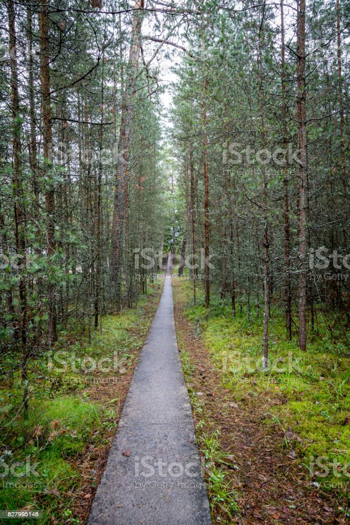 Infinity perspective of walking trail in a pine forest. royalty-free stock photo