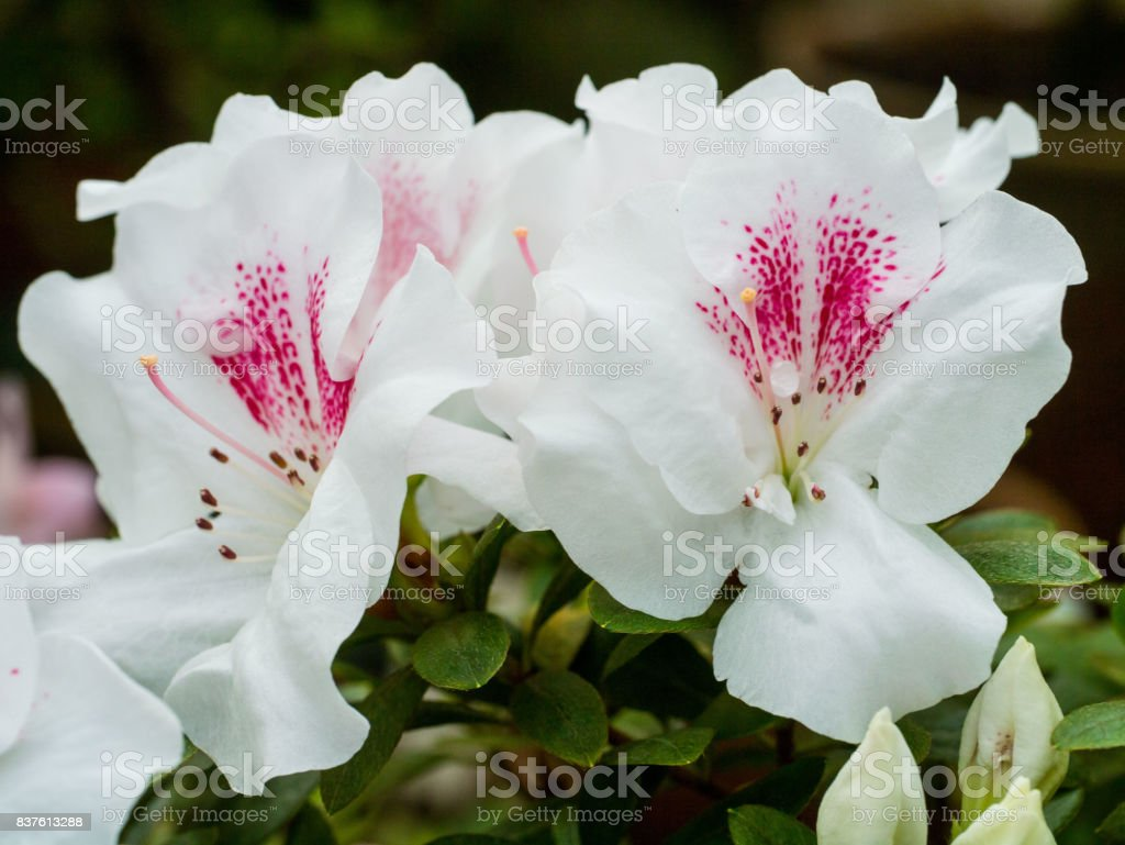 Inflorescence a lovely white flower with red dotsof a Azalea. Rhododendron starlight (starlite). stock photo
