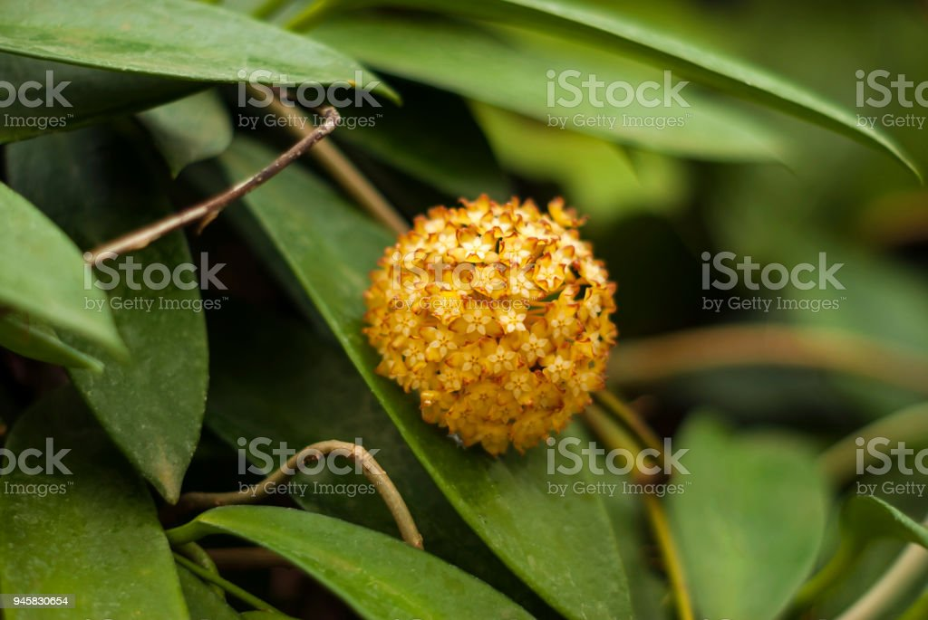 inflorescence of a succulent liana Hoya closeup stock photo