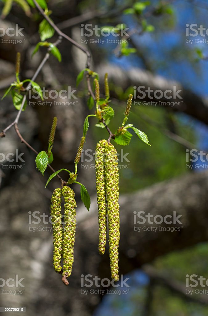Inflorescence of blossoming birch closeup. stock photo