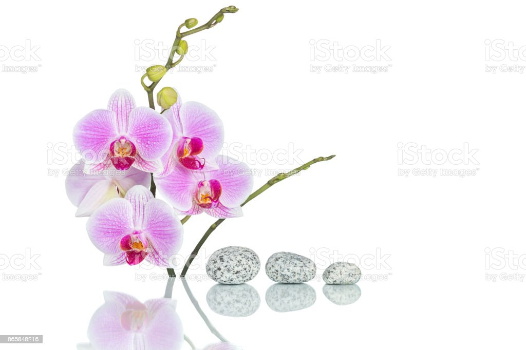 Inflorescence of butterfly orchid and massage stones with water drops and reflection isolated on white background stock photo
