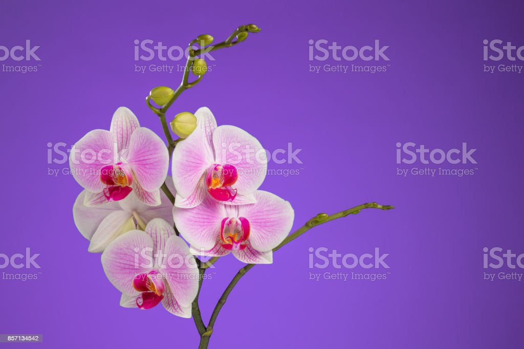 Inflorescence of butterfly orchid on lilac background stock photo