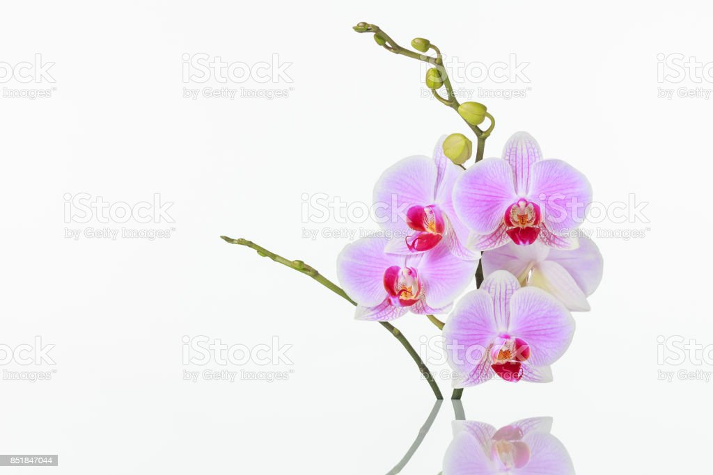 Inflorescence of butterfly orchid with reflection on white background stock photo