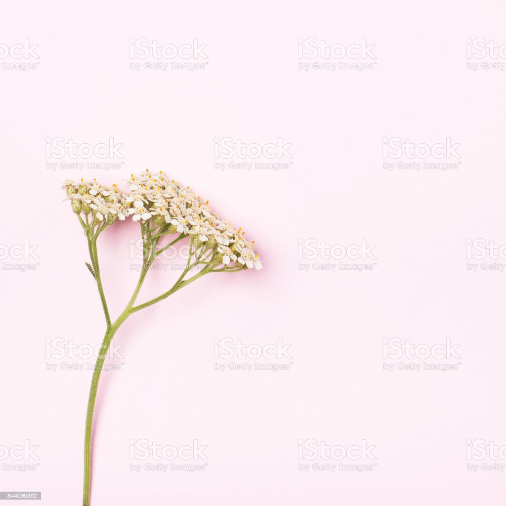 Inflorescence on a pink background stock photo