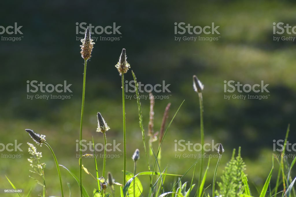 inflorescences from ribwort plantain (Plantago lanceolata) against the light on a summer meadow, weed or medicinal plant for herbal tea against cough, copy space - Royalty-free Backgrounds Stock Photo