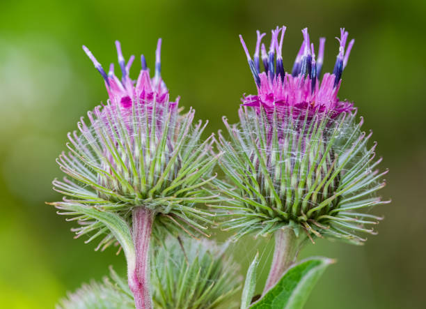Inflorescences of a burdock on a green background stock photo