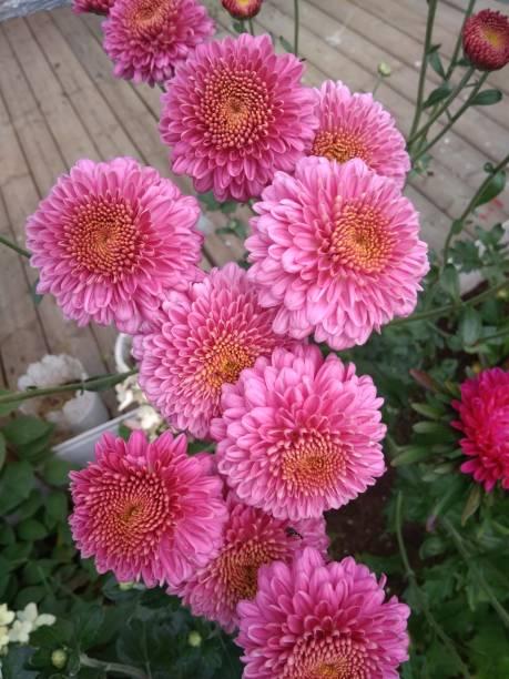 Blütenstände von Astern im Garten – Foto