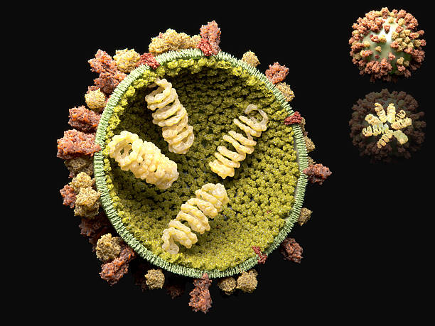"""Influenza virus The influenza virus causes the influenza, commonly known as """"the flu"""". It is a RNA virus with 3 surface proteins: the hemagglutinin (orange-red), the neuraminidase (yellow) and the M2 protein (red), a proton channel. The inner enveloped is build by the M1 proteins (light green), which bind to the 8 ribonucleoprotein complexes (RNPs), with the genetic information. glycoprotein stock pictures, royalty-free photos & images"""