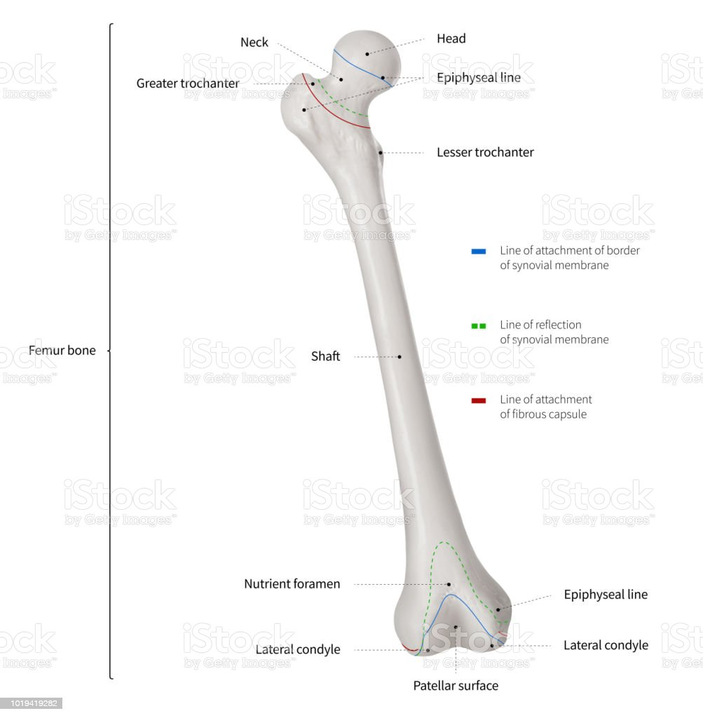 Infographic Diagram Of Human Femur Bone Or Leg Bone Anatomy System