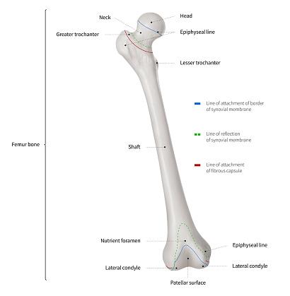 infographic diagram of human femur bone or leg bone. Black Bedroom Furniture Sets. Home Design Ideas