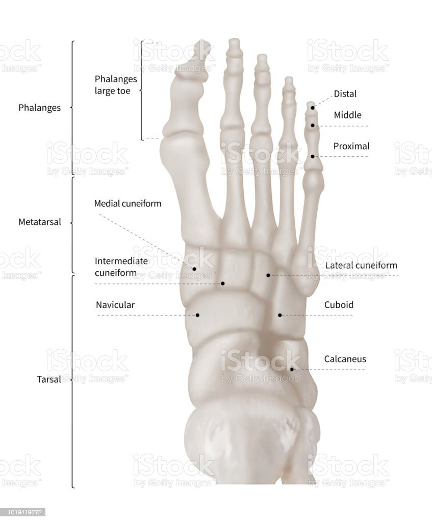 Infographic Diagram Of Human Foot Bone Anatomy System Anterior View