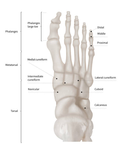 Royalty Free Foot Bone Pictures Images And Stock Photos Istock