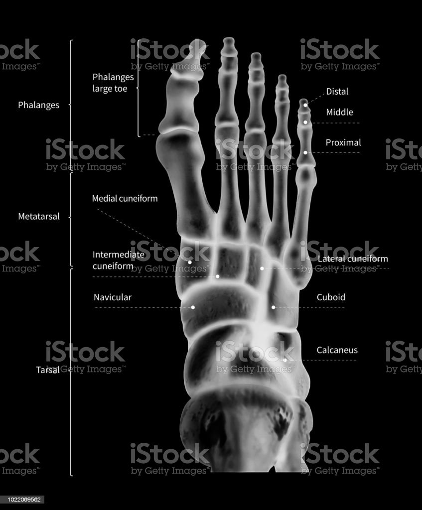 royalty free navicular bone of hand pictures images and stock Foot Anatomy Diagram infographic diagram of human foot bone anatomy system anterior view 3d human anatomy