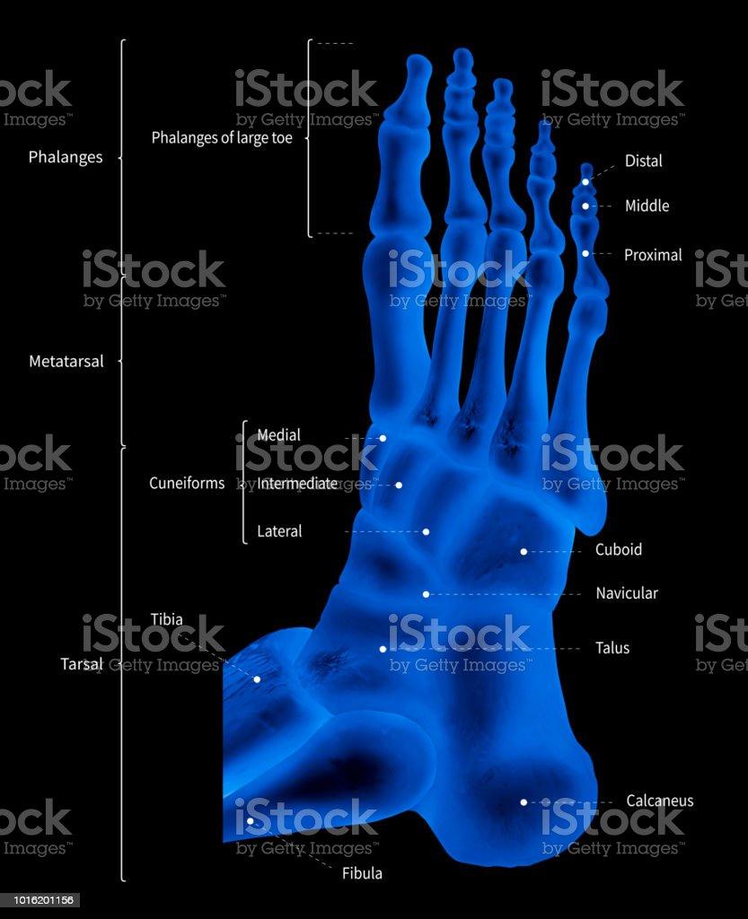 Fotografía de Esquema Infográfico De Pie Hueso Anatomía Sistema ...