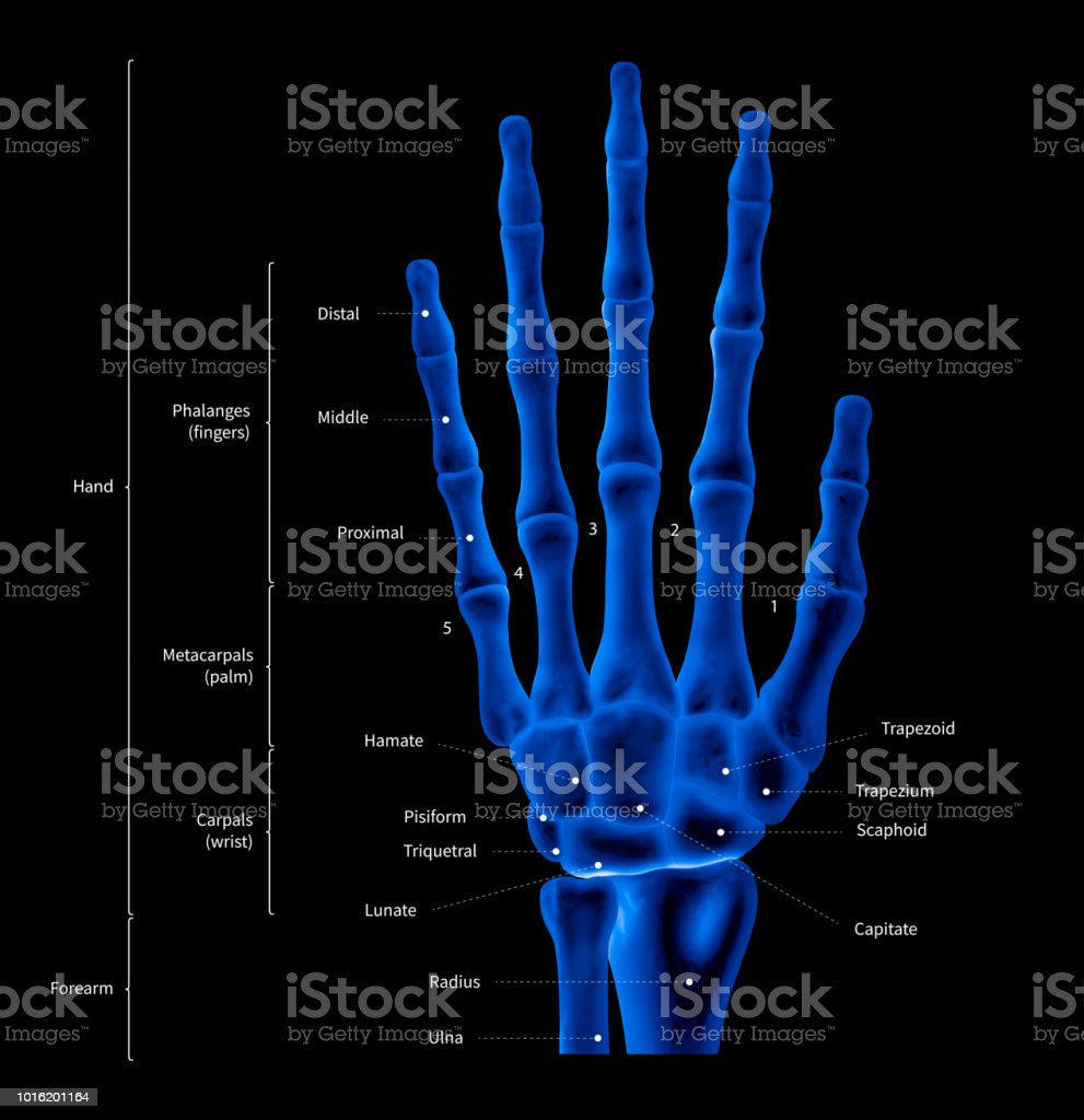 infographic diagram of human hand bone anatomy system anterior view picture id1016201164 infographic diagram of human hand bone anatomy system anterior view