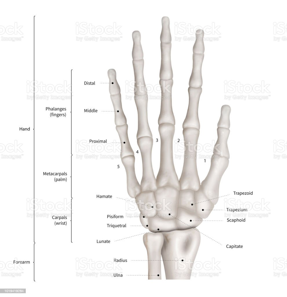 Infographic Diagram Of Human Hand Bone Anatomy System Anterior View