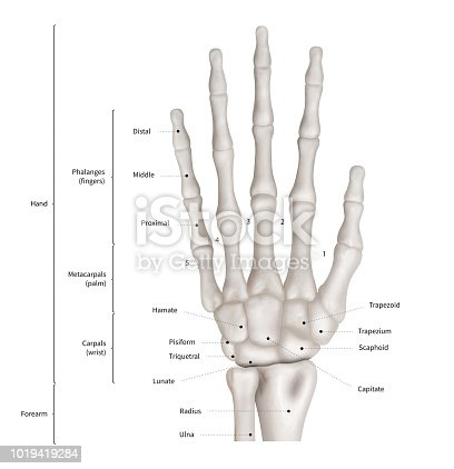 istock Infographic diagram of human hand bone anatomy system anterior view- 3D- Human Anatomy- Medical Diagram- educational and Human Body concept- Isolated on white background 1019419284