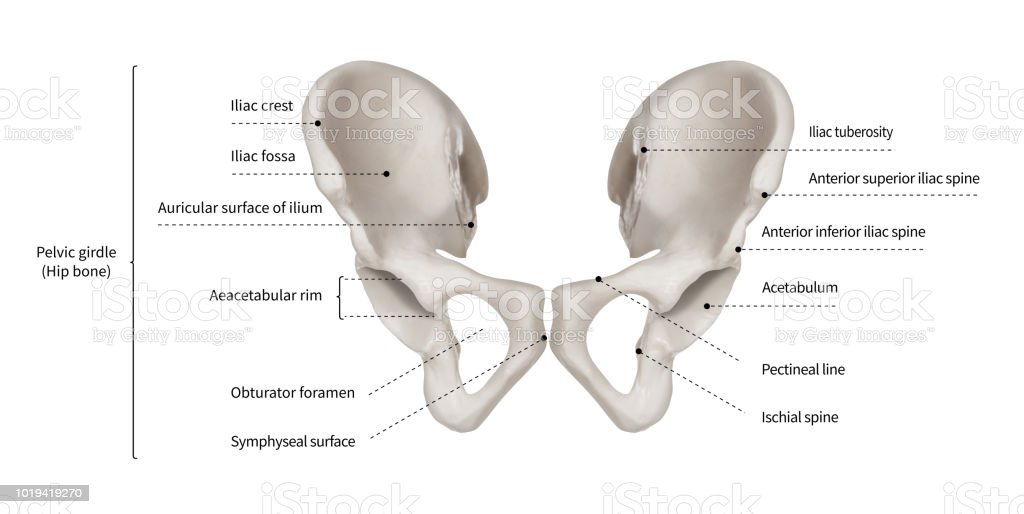 infographic diagram of human hip bone or pelvic girdle anatomy Side View of Hip Bone Diagram