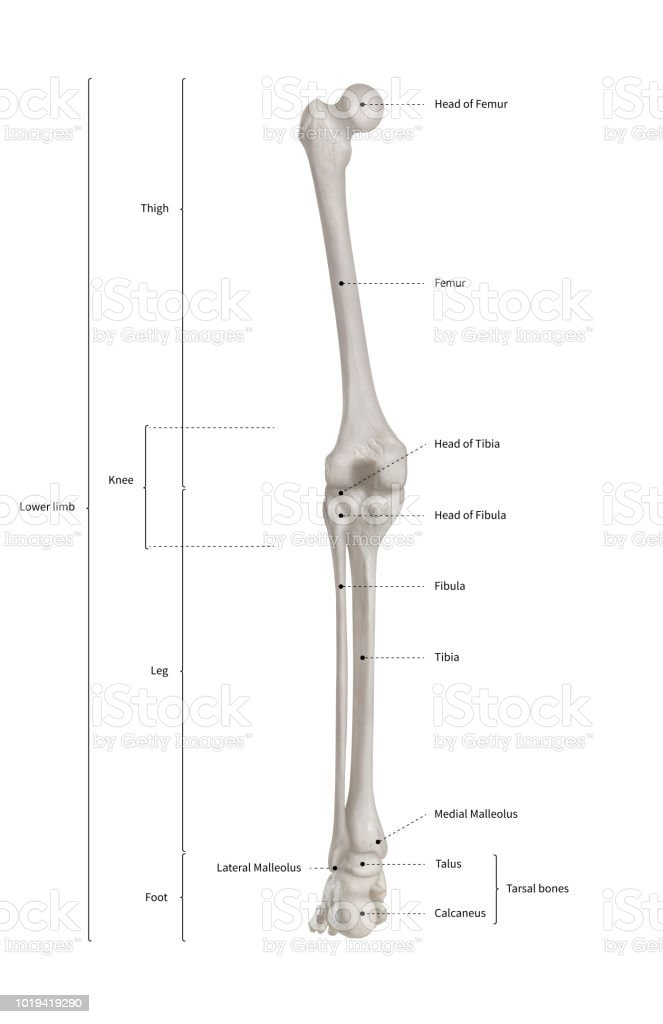 Infographic Diagram Of Human Skeleton Lower Limb Anatomy Bone System