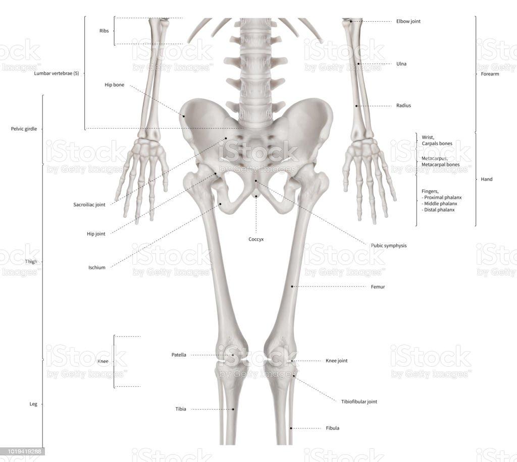 3d Human Bone Structure Diagram - Free Vehicle Wiring Diagrams •