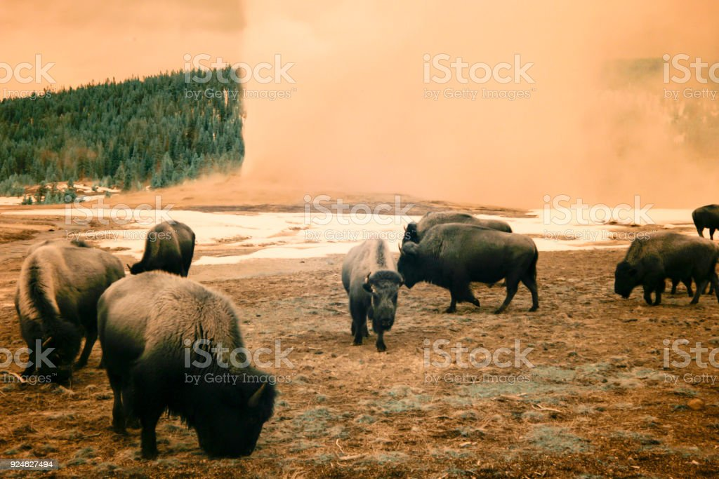 Infrared Bison Grazing Next To Old Faithful Yellowstone