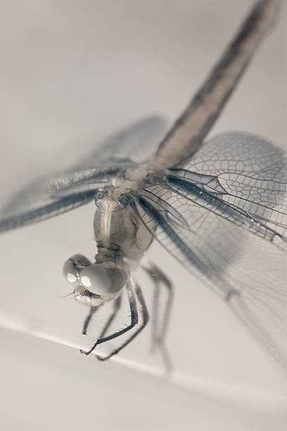 Infrared Dragonfly stock photo