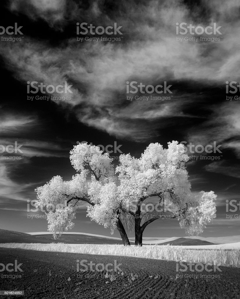Infrared Palouse Tree stock photo