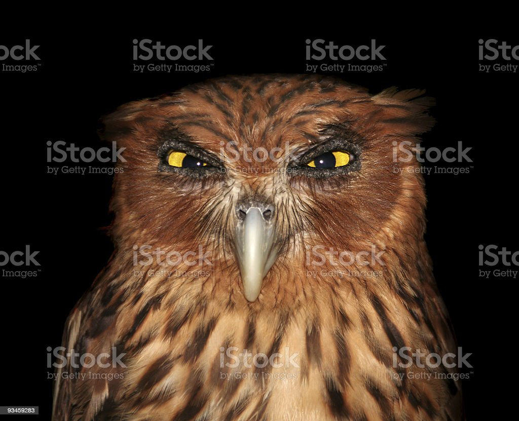 Infuriated owl stock photo