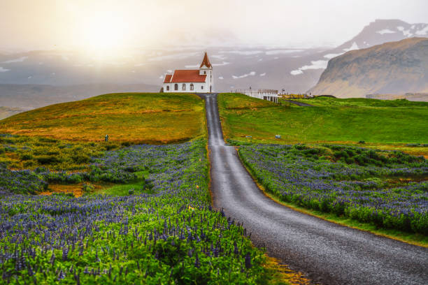 Ingjaldsholl church in Hellissandur, Iceland in the field of blooming lupine flowers with background of Snaefellsjokull mountain. Beautiful sunny scenery of summer in Iceland. stock photo