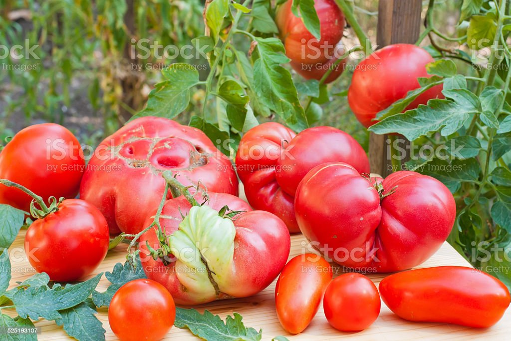 Inglorious tomatoes stock photo