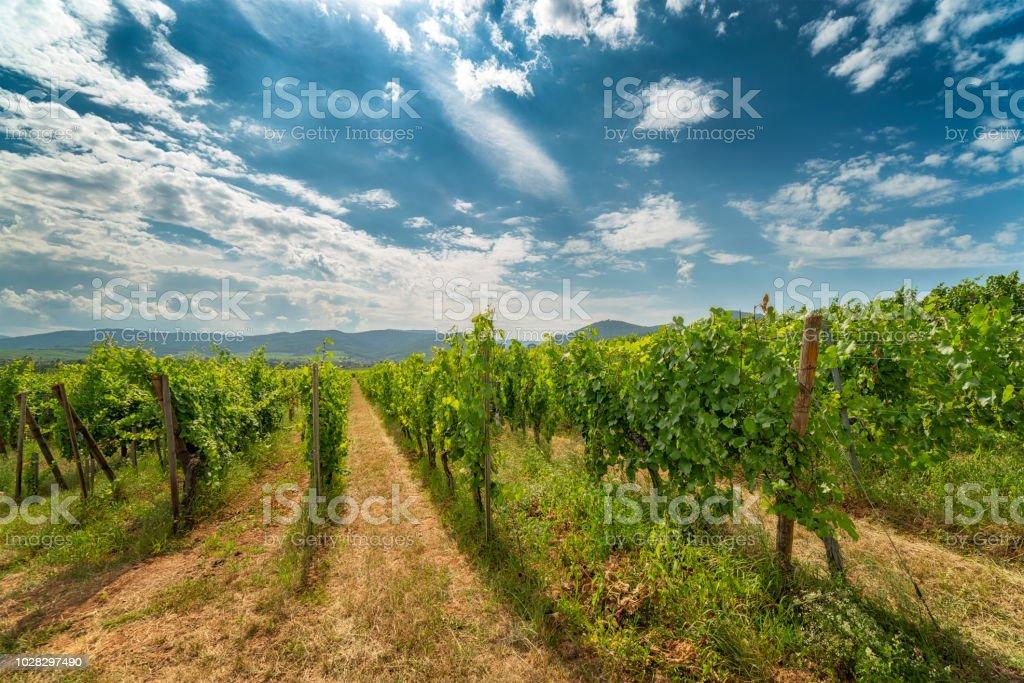Ingrapes in the vineyard – zdjęcie